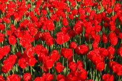 在春天的红色郁金香 免版税库存照片