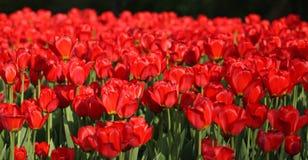 在春天的红色郁金香 库存图片