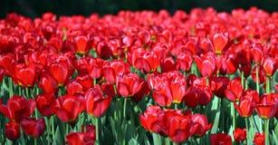 在春天的红色郁金香 库存照片