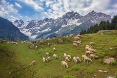 在春天的羊羔 免版税库存图片