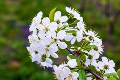 在春天的美丽的开花的樱桃树 免版税图库摄影