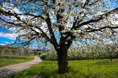 在春天的美丽的开花 图库摄影