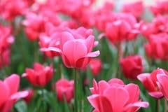 在春天的美丽的桃红色郁金香,严密地被包的桃红色郁金香特写镜头开花 免版税库存照片