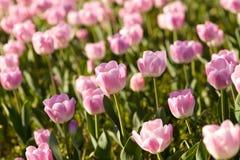 在春天的美丽的桃红色郁金香 免版税库存照片
