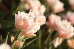 在春天的美丽的桃红色郁金香 免版税库存图片