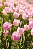 在春天的美丽的桃红色郁金香 免版税图库摄影