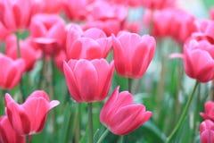 在春天的美丽的桃红色郁金香 宏观射击 特写镜头  库存照片