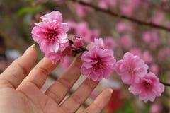 在春天的美丽的樱花佐仓在蓝天 图库摄影