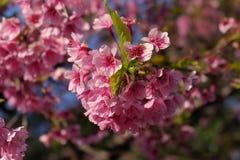 在春天的美丽的樱花佐仓在蓝天 库存照片