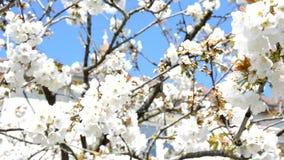 在春天的美丽的樱花佐仓 股票录像