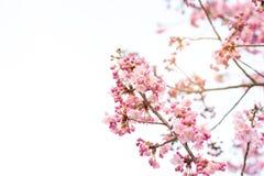 在春天的美丽的樱花佐仓 图库摄影