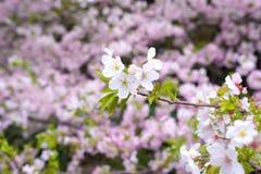 在春天的美丽的樱花佐仓 库存照片