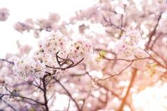 在春天的美丽的樱花佐仓 库存图片