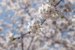 在春天的美丽的樱花,日本 库存图片
