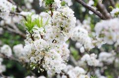 在春天的美丽的白色樱花或李子花在Khun Sathan国家公园 免版税库存照片