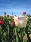 在春天的美好的郁金香领域 库存图片