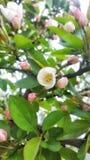 在春天的苹果计算机开花 图库摄影
