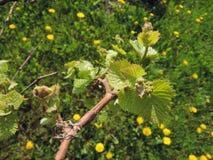 在春天的葡萄树,晴天 免版税库存照片