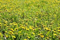 在春天的蒲公英 库存图片