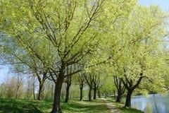 在春天的银色杨柳开花 库存图片