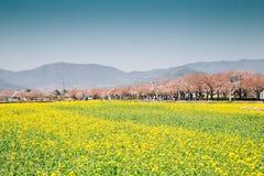 在春天的黄色强奸花和樱花树在庆州,韩国 图库摄影