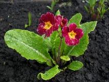 在春天的黑暗的桃红色报春花 库存图片