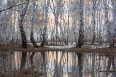 在春天的Birchwood 在被解冻的雪的反射 免版税库存图片
