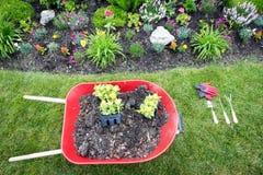 在春天种植一个鸡冠花花园 免版税库存图片