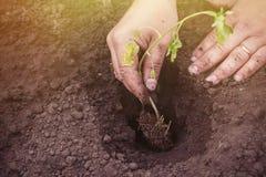 在春天种植蕃茄新芽在地面 免版税库存照片