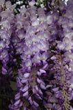 在春天紫藤丰富绽放  免版税库存照片