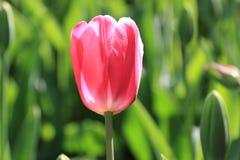 在春天绽放期间的美丽的精美桃红色郁金香 免版税库存照片