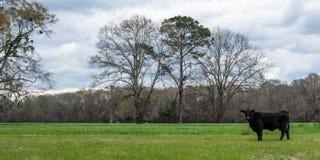 在春天网横幅的孤立安格斯母牛 免版税库存图片