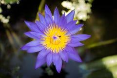 在春天背景的紫色莲花 库存照片