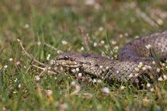 在春天花中的光滑的蛇 爬行动物Coronella austriaca 免版税图库摄影