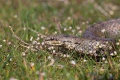 在春天花中的光滑的蛇 爬行动物Coronella austriaca 库存图片