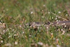 在春天花中的光滑的蛇 爬行动物Coronella austriaca 免版税库存照片