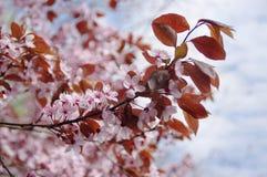 在春天花中的樱花 库存照片