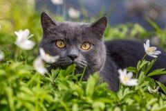 在春天花的英国猫 免版税库存照片