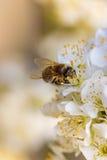 在春天花的蜂收集花粉的 免版税库存照片