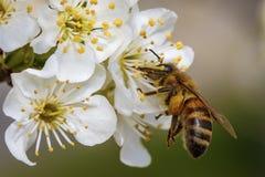在春天花的蜂收集花粉的 免版税库存图片
