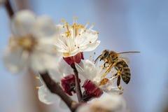 在春天花的蜂收集花粉的 库存图片