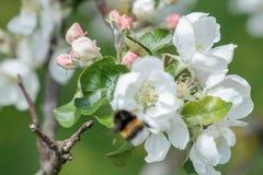 在春天苹果树的被弄脏的飞行的土蜂开花背景 免版税库存图片