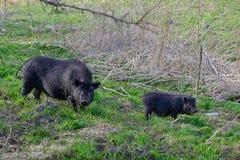 在春天草甸的两头黑野生猪 免版税库存图片