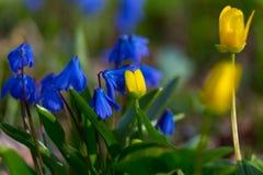 在春天草甸的花 Scilla bifolia和猿猴草属palustris 免版税库存图片