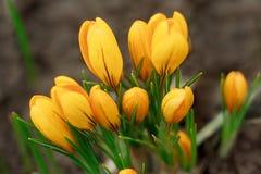 在春天草甸的黄色番红花花 库存照片