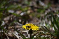 在春天草甸的黄色蒲公英 免版税库存照片