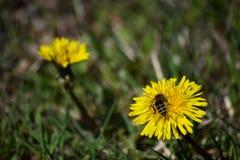 在春天草甸的黄色蒲公英 库存照片