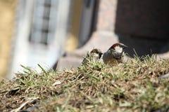 在春天草的两只麻雀 免版税库存图片