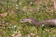 在春天草的光滑的蛇 爬行动物Coronella austriaca 免版税库存照片