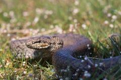 在春天草的光滑的蛇 爬行动物Coronella austriaca 库存照片